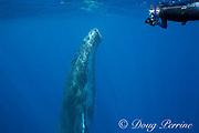 Ken Howard photographs humpback whale, Megaptera novaeangliae, young male, Ha'apai, Kingdom of Tonga, South Pacific Ocean, MR 504