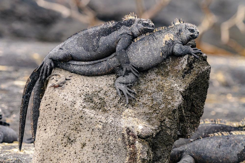 Marine Iguanad (Amblyrhynchus cristatus) from Punta Espinoza, Fernandina, Galapagos Islands.