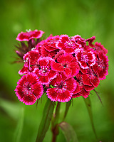 Sweet William flowers. Image taken with a Nikon Df camera and 70-300 mm lens