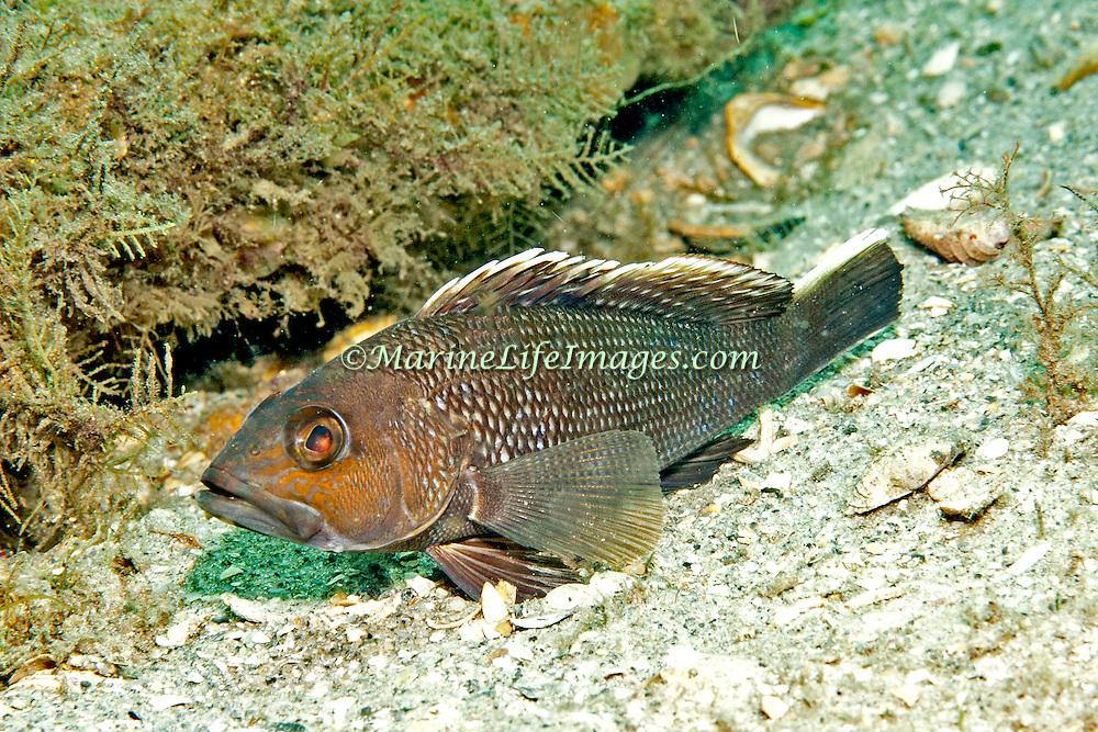 Black Sea Bass inhabit shallow rocky areas mixed with sand and hard bottoms in Florida (not known Bahamas or Caribbean); picture taken Blue Heron Bridge, Palm Beach, FL.
