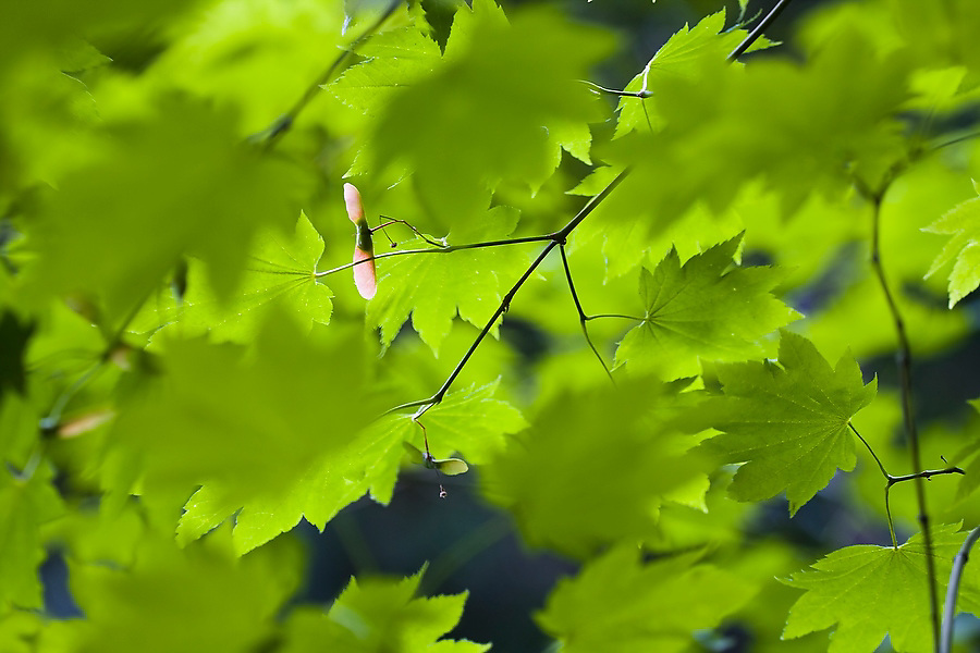 Green leaves frame the pink, long-winged seed pod of a Vine Maple tree (Acer circinatum) growing in the Washington Park Arboretum in Seattle, Washington. The city park, a living museum home to over 20,000 plant species from around the world, celebrates its 75th anniversary this year.