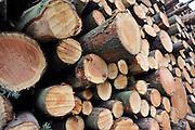 Nederland, Leur, 4-3-2012Een stapel gekapte boomstammen liggen klaar voor transport.Foto: Flip Franssen/Hollandse Hoogte