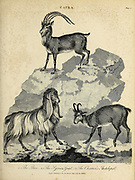 Capra The Ibex, The Syrian Goat The Chamois Antelope (Rupicapra rupicapra) Copperplate engraving From the Encyclopaedia Londinensis or, Universal dictionary of arts, sciences, and literature; Volume III;  Edited by Wilkes, John. Published in London in 1810