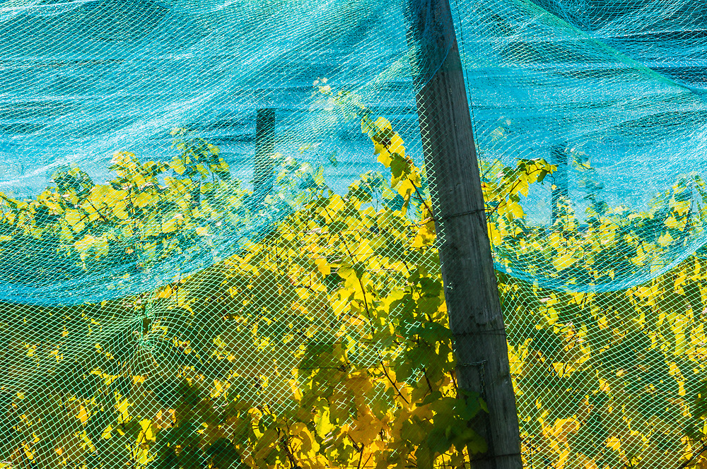 Bird netting protecting grape vines, afternoon light, October, Skagit River Valley, Skagit County, Washington, USA