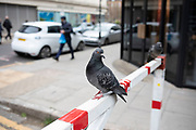Urban pigeons sitting on a red and white barrier as people pass in the City of London, United Kingdom. Feral pigeons, also called city doves, city pigeons, or street pigeons, are pigeons that are derived from the domestic pigeons that have returned to the wild.