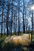 Serra da Estrela mountain range in the Natural Park. Sunlight through wild grasses. Burnt Conifers damaged by fire after the dramatic wildfire of 2017 in Portugal.