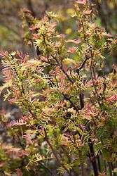 Young spring foliage of Sorbaria sorbifolia 'Sem' AGM