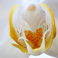 Moth Orchid flower fine art photography images are available as museum quality photography prints, canvas prints, acrylic prints or metal prints. Flower fine art prints may be framed and matted to the individual liking and decorating needs at<br /> <br /> http://juergen-roth.artistwebsites.com/collections/flowers<br /> <br /> Macro flower fine art photography of a beautiful white flowering Moth Orchid. The graceful and elegant orchid floral epitomizes love, luxury, strength, and beauty. <br /> <br /> Good light and happy photo making! <br /> <br /> My best, <br /> <br /> Juergen <br /> http://www.exploringthelight.com<br /> http://www.rothgalleries.com <br /> @NatureFineArt <br /> http://whereintheworldisjuergen.blogspot.com<br /> https://www.facebook.com/naturefineart