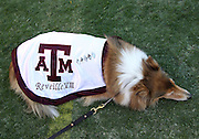 TUSCALOOSA, AL - NOVEMBER 10:  Texas A&M Aggies mascot Reveille VIII rests during the game against the Alabama Crimson Tide at Bryant-Denny Stadium on November 10, 2012 in Tuscaloosa, Alabama.  (Photo by Mike Zarrilli/Getty Images)
