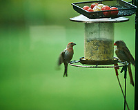 House Finch. Image taken with a NikonD850 camera and 200 mm f/2 VR lens