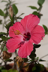 Hibiscus Flower, Vero Beach, Florida, US