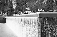 Bellevue, WA Downtown Park waterfall with seagulls - bw
