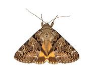 72.075 (2455a)<br /> Oak Yellow Underwing - Catocala nymphagoga