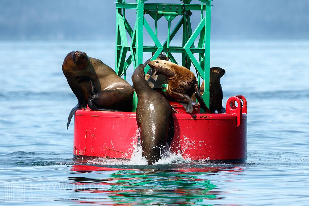 Eastern Stellar sea lions (Eumetopias jubatus ssp. monteriensis) arguing over sitting territory on a buoy in Chatham Strait, Alaska.