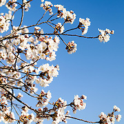 Close-up shot of the Cherry Blossom flowers during peak bloom around the Tidal Basin in Washington DC against a clear blue spring sky.