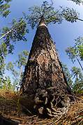 Longleaf Pine Forest (Pinus palustris)<br /> Once dominated the southern landscape. Now only 3% of natural forest remains.<br /> Telfair County, Georgia<br /> USA