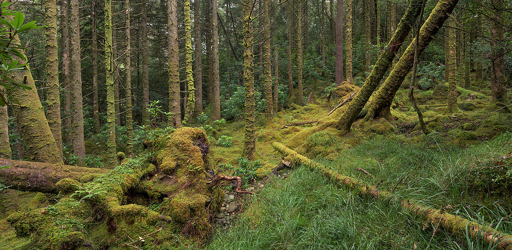 Woodland off the Old Kenmare Road, Killarney, Co.Kerry.