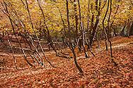 Maple leaves in full autumn color, mogollon rim, arizona