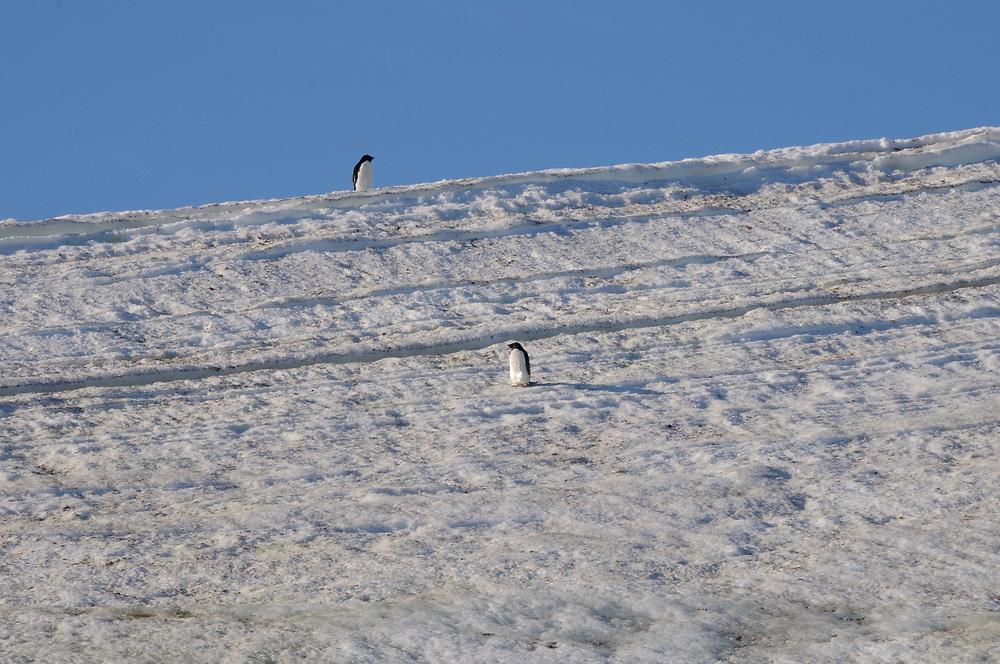 Two Adélie penguins (Pygoscelis adeliae) on the glacier above  Hope Bay. Hope Bay,  Trinity Peninsula,  Antarctic Peninsula, Antarctica. 02Mar16