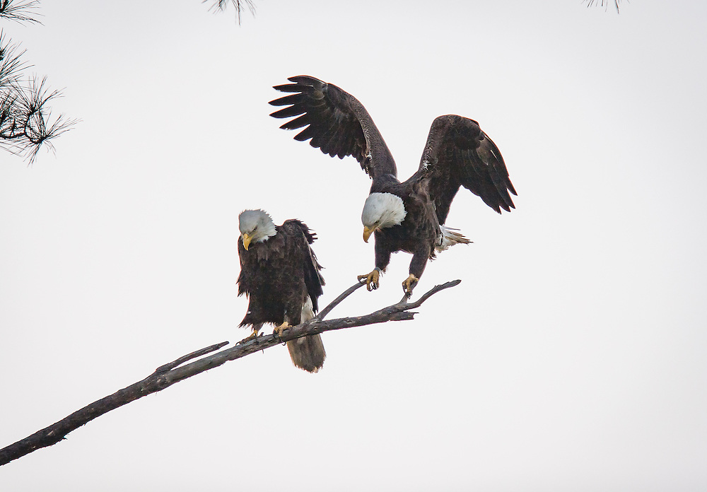 A pair of eagles roost in a pine as a gibbous moon rises along the May River during courting.