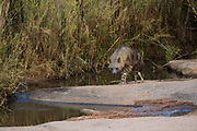 Brown hyaena (Hyaena brunnea)<br /> Marakele Private Reserve, Waterberg Biosphere Reserve<br /> Limpopo Province<br /> SOUTH AFRICA<br /> RANGE: Exclusively Southern African