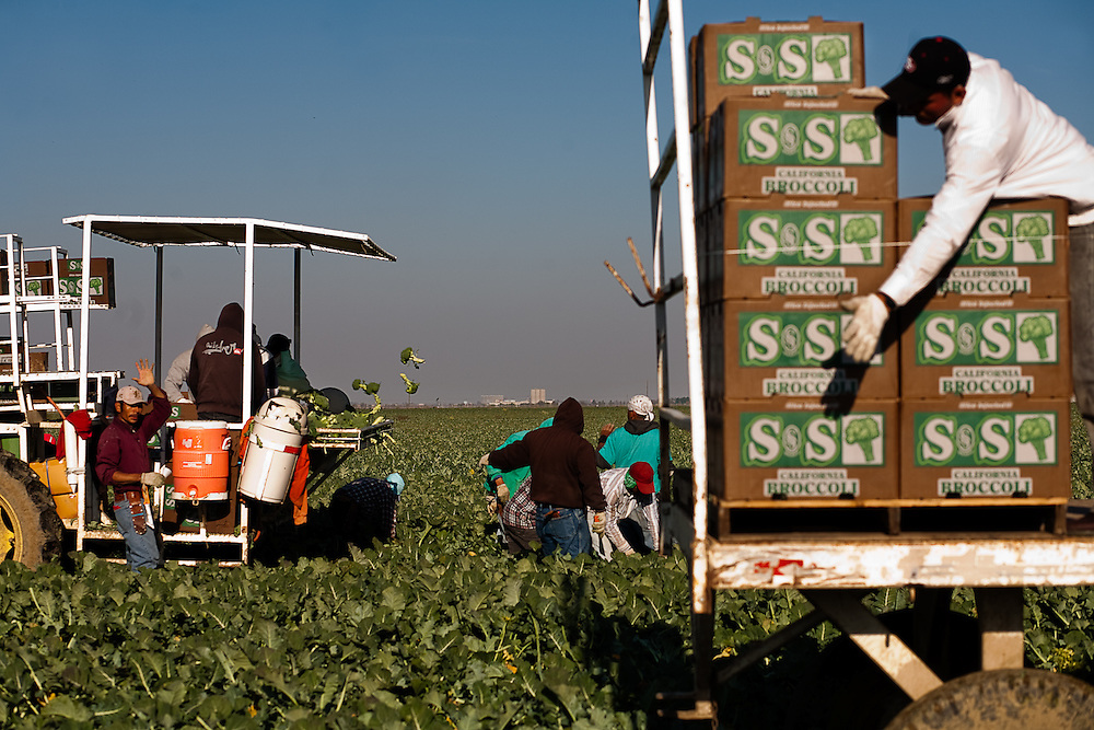 Farm laborers pick broccoli in the San Joaquin Valley on April 17, 2009.  Nearby communities such as Firebaugh and Mendota have 40% documented unemployment due to reduced water allocations to farmers fields.
