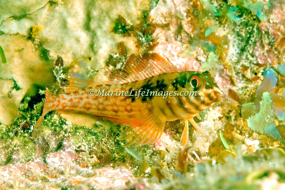 Goldline Blenny perch on bottom in shallow areas from grass beds to sand and rubbe and reefs in Tropical West Atlantic; picture taken Utila, Honduras.
