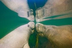 Florida manatee mother and calf, feeding on seagrass together at surface, Trichechus manatus latirostris, endangered, a subspecies of the West Indian manatee, Kings Bay, Crystal River, Florida