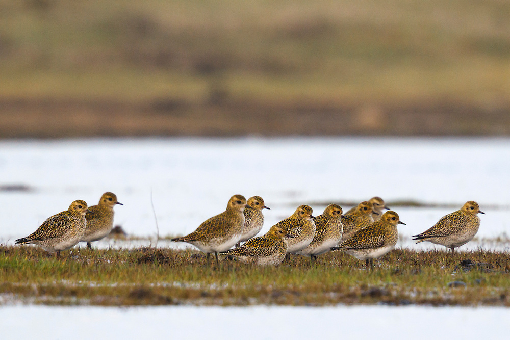 Golden Plover Pluvialis apricaria L 28cm. Beautifully marked wader. Call is evocative of desolate uplands in summer. Gregarious outside breeding season; often associates with Lapwings. In flight, note white underwings. Sexes are sometimes separable in summer. Adult in summer has spangled golden upperparts bordered by white band. In most males, belly is black, grading to grey on neck and face. Most females have less distinct dark underparts and face is often whitish. Breeders from N Europe (seen on migration) have darker underparts than British birds. In winter, underparts are pale, and head, neck and back are streaked golden. Juvenile is similar to winter adult. Voice Utters peeoo flight call and plaintive pu-peeoo in summer. Status Locally common breeding species on N upland moors and mountains. Widespread in winter on grassland and arable fields.