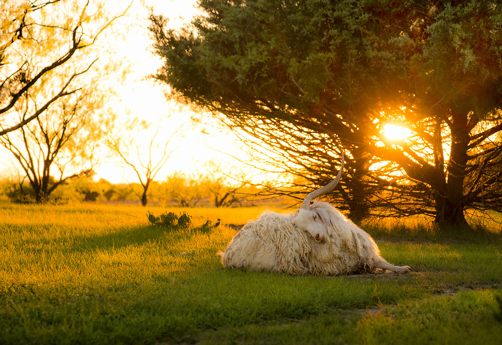 Angora fiber goat, Kick Ass Ranch, Ennis, Texas