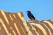 male Tristram's Starling or Tristram's Grackle (Onychognathus tristramii). Photographed in Israel, Dead Sea, in December