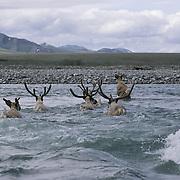 Barren Ground Caribou porcupine herd. Arctic National Wildlife Refuge, Alaska