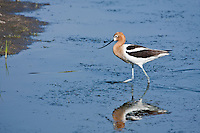 American Avocet (Recurvirostra americana)  Have long, thin upturned bills; black on wings and back; white body.  Females have shorter, more strongly upturned bills.  In the summer the head and neck are a rich cinnamon color.  They use their slim upturned bills to sweep back and forth in shallow water to catch insects, shrimp and other aquatic invertebates.
