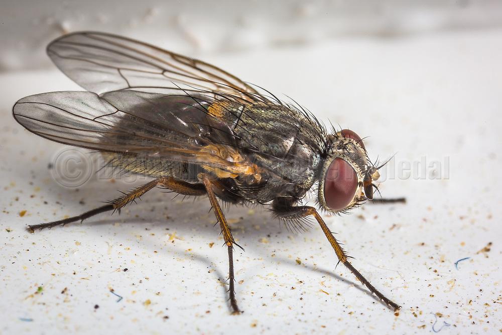 Macro picture of a fly   Makrobilde av en flue.