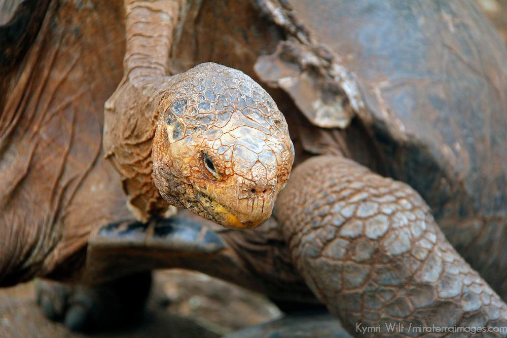 South America, Ecuador, Gsalapagos Islands, Santa Cruz Island. Galapagos Tortoise of Santa Cruz Island.