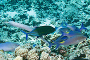 hunting coalition of blue goatfish or yellowsaddle goatfish, Parupeneus cyclostomus, trumpetfish, Aulostomus chinensis, and bluefin trevally or bluefin jack, Caranx melampygus, Kohanaiki, North Kona, Hawaii ( the Big Island ), USA ( Central Pacific Ocean )