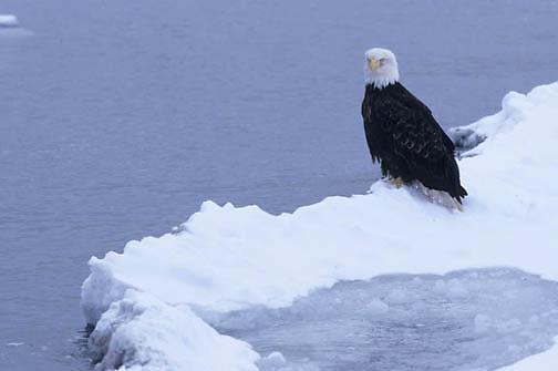 Bald Eagle, (Haliaeetus leucocephalus) Adult. Alaska.