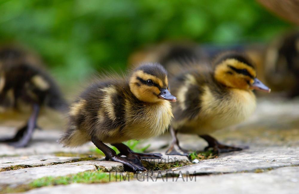 Mallard ducklings, Cotswolds, England