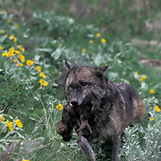 Gray Wolf, (Canis lupus) Adult carrying pups to new den site. Montana.  Captive Animal.