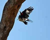 Acorn Woodpecker (Melanerpes formicivorus). Crooked Tree Wildlife Sanctuary. Image taken with a Nikon D3x camera and 70-300 mm VR lens