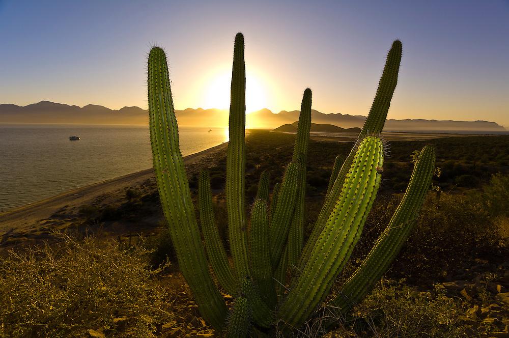 Cactus, Salina San Ysidria bay, Sea of Cortes, Baja California Sur, Mexico