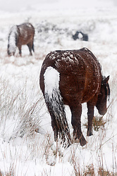 © Licensed to London News Pictures. 09/02/2016. Builth Wells, Powys, Wales, UK. Welsh ponies are seen grazing iin the snow on the  Mynydd Epynt range. After a long unseasonably warm spell of weather in Mid Wales, temperatures drop in and the high land of the Mynydd Epynt range, near Builth Wells in Powys, Wales, is hit by a blizzard late this afternoon. Photo credit: Graham M. Lawrence/LNP