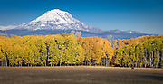 A lone cow grazes in a pasture bordered by autumn aspen with Mount Adams in the background, Klickitat County, WA, USA.