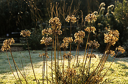 Backlit agapanthus seedheads in winter