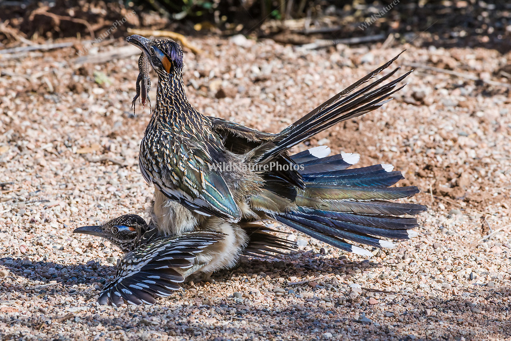 Greater Roadrunners (Geococcyx californianus) in courtship and copulation in the Sonoran Desert, with the male holding a Western Whiptail lizard (Aspidoscelis tigris) as an offering. (Arizona)