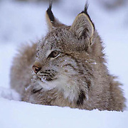 Canada Lynx, (Lynx canadensis) Montana. Portrait of sub adult in snow.Winter. Captive Animal.