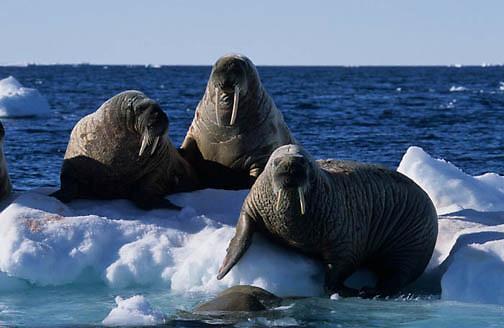 Walrus, (Odobenus rosmarus) On iceberg off Baffin Island. Canada.