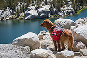 Dog with backpacks (golden retriever), overlooking Box Lake, Little Lakes Valley, John Muir Wilderness, Inyo National Forest, California