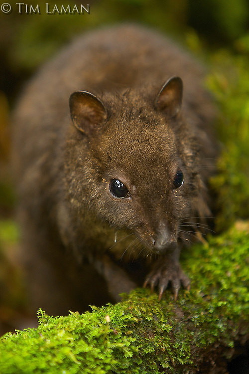 Dorcopsulus sp. nov.<br />New species of wallaby from the Foja Mountains discovered by Kris Helgen.  Captured near Bog Camp at 1650 m.