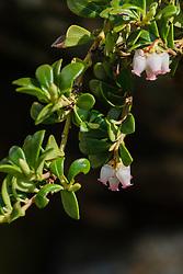 Berendruif, Arctostaphylos uva-ursi